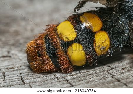 Photo shows a closeup of a hornet tail. Selective focus