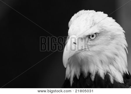 Black and white image of a pensive or leery looking Eagle with a cocked head