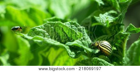 Colorado beetle, on a green leafy curd tree, light salmon background clsoe up