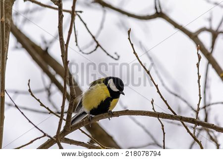 Titmouse sitting on the branch of a bush in winter