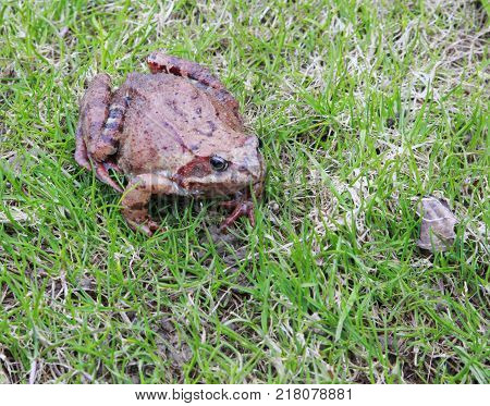 A close up of the toad among grass.
