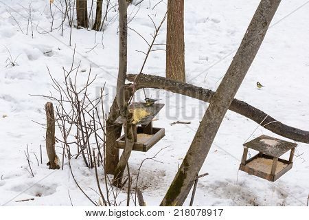 Titmouse pecking grain millet the seeds in the feeder in winter in the woods
