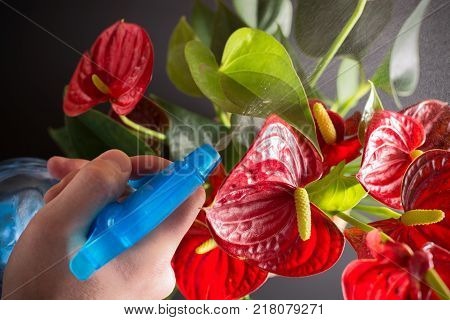 How to care for a home plant Anthurium. This flower has the second name Flamingoblume. In the picture a jet of fresh water from the spray is directed at the flowers of Anthurium.