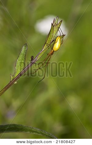 a tetragnatha extensa spider with its prey on a plant stem poster