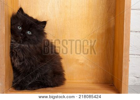 Studio shot of adorable young black fluffy kitten sitting in the corner of wooden box