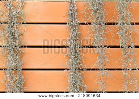 Spanish Moss or Tillandsia usneoides climbing wooden fence for background.