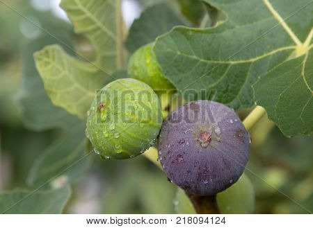 Green and violet figs after rain. Close-up.