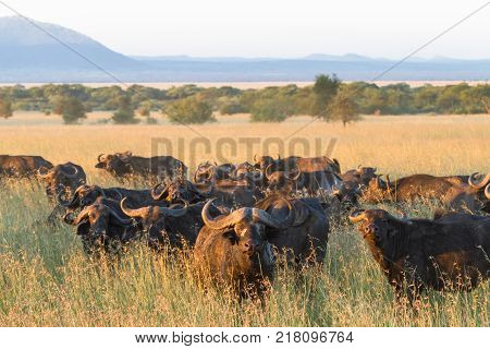 A large herd of African buffaloes in the Serengeti. Tanzania