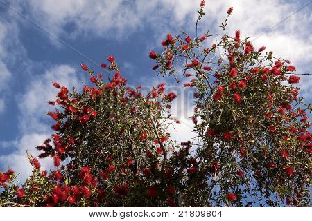 Red Flowers Of The Pohutukawa Tree