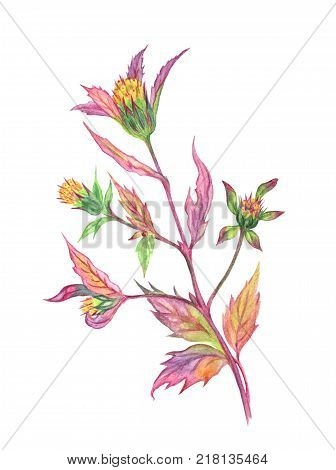 Bur marigold, medicinal plant, watercolor botanical illustration.
