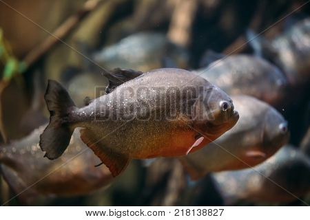 Red-bellied Piranha Or Red Piranha Fish Pygocentrus Nattereri Swimming In Water. Popular Aquarium Fish.