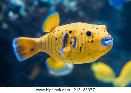 Yellow Blackspotted Puffer Or Dog-faced Puffer Fish Arothron Nigropunctatus Swimming In Water. If Not Prepared Properly, Toxin Found In Pufferfish - Tetrodotoxin Can Kill You In A Couple Of Hours. poster