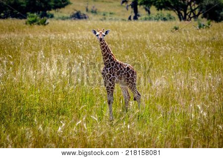 A baby rothschild giraffe in the Murchison Falls national park in Uganda. Too bad this place, lake Albert, is endangered by oil drilling companies
