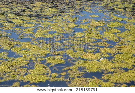 Green algae in an area where the river is almost stationary