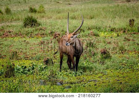 The waterbuck (Kobus ellipsiprymnus) is a large antelope found widely in sub-Saharan Africa.  This one was shot at the Nile shore in Murchison Falls national park in Uganda