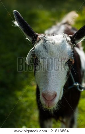 Goats graze in the pasture near the photographer.