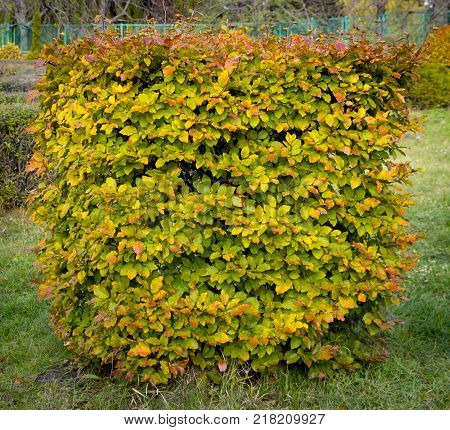 Hornbeam decorative tonsured a round shape with a slot in the center.