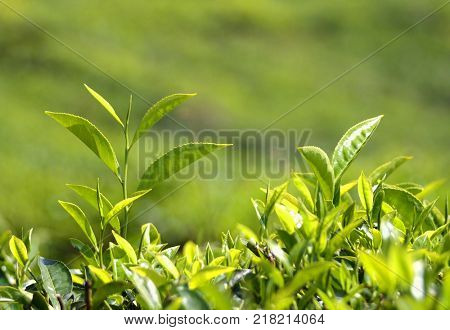 tea plants in Munnar Kerala India