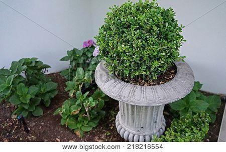 Round boxwood bush in a flower vase home garden landscaping concept
