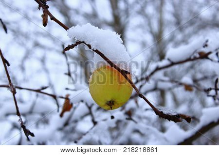 The last green Apple on a branch.The Apple on the tree in the snow. Lone Apple hanging on a branch in winter. Yellow Apple in the snow. Apple in the cold. Green and yellow Apple in the winter. Frozen apples in the snow