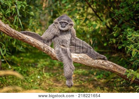 Silvery gibbon sitting on a branch. The silvery gibbon ranks among the most threatened species.