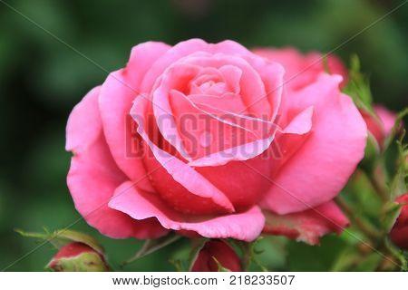 Pink garden rose. Pink rose. Rose background. Pink rose background. Romantic background. Lovely pink rose. Rose. Garden rose. Rose background. Park rose.