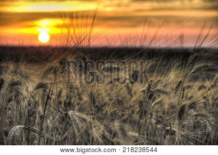 grain yellow wheat Sheaves field ready for harvest in front of a beautiful sunset