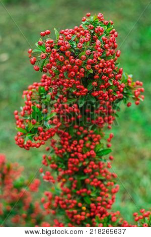 Heteromeles arbutifolia or Toyon red berries on green foliage blurred background in the garden