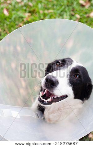Cute border collie in a cone. Dog.