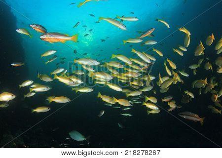 School of Bigeye Snapper fish