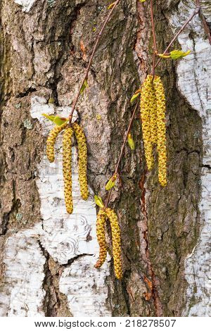 Yellow Birch Buds Hanging From A Branch