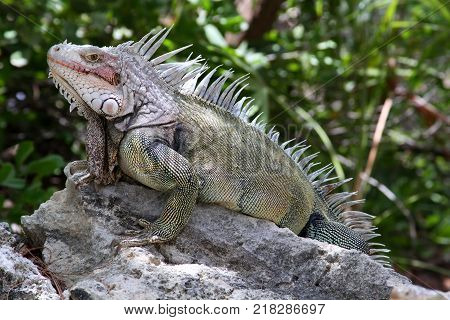 Wild Iguana on Coco Cay in the Bahamas