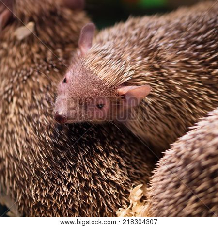 Top down on several young long eared hedgehogs huddling together in a bin during animal trade fair
