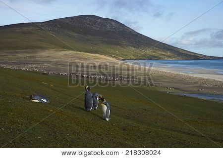 King Penguins (Aptenodytes patagonicus) standing on grass covered hillside on Saunders Island in the Falkland Islands.