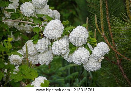 Viburnum opulus Sterilis or guelder-rose on blured background