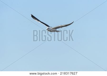 Great Black-backed Gull gliding wings high room for text
