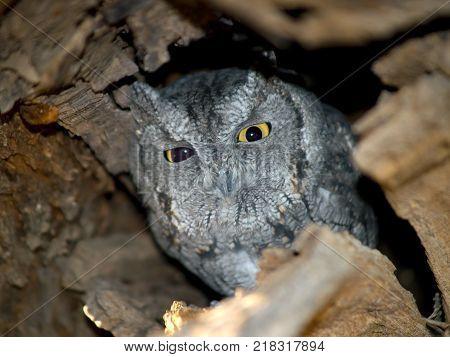 An Arizona Screech Owl in its tree hollow just waking up near sundown.