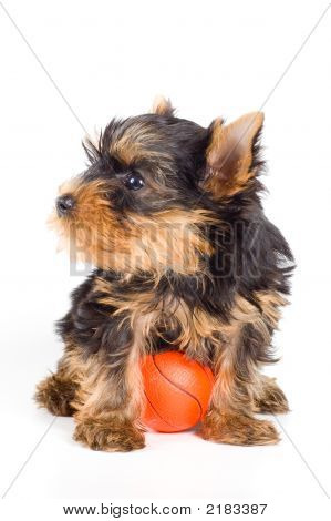 The Puppy Of The Terrier