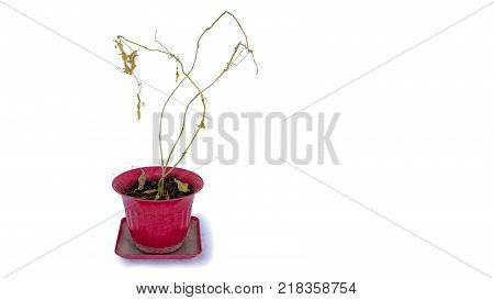 Dried and Withered Plants in a Flower Bot on White Background