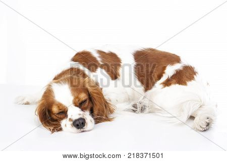 Sleeping dog. Dog sleeping in studio. White background. cavalier king charles spaniel sleep. Cute dog.