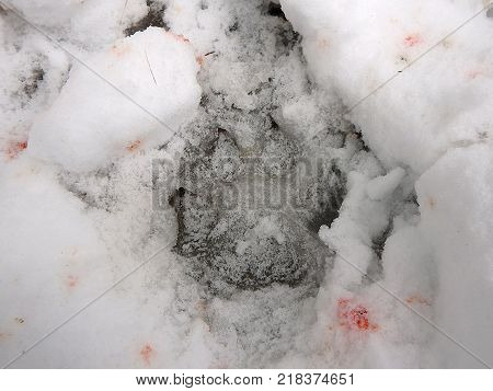 Wolves trail in snow and blood , (Canis lupus)
