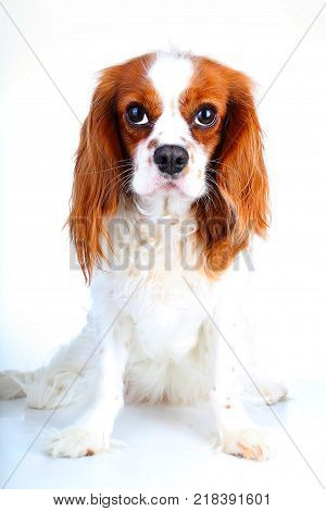 Cavalier king charles spaniel dog photo. Beautiful cute cavalier puppy dog on isolated white studio background. Trained pet photos for every concept.