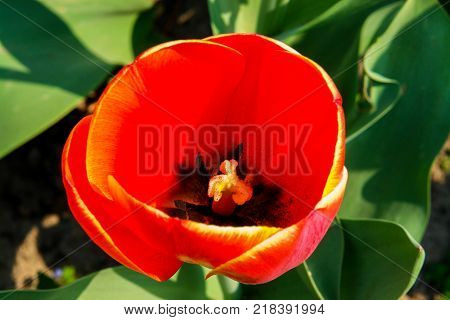 Flower of a red tulip or glass lampshade. Grows in a botanic garden. Nature and relaxation. Dutch tulips