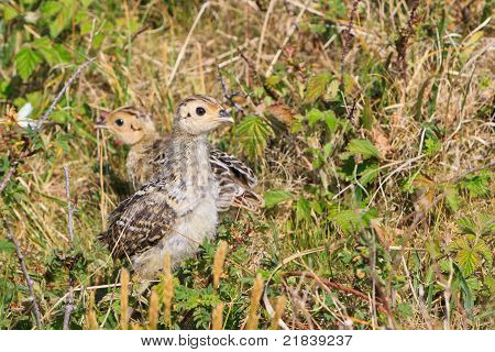 Pheasant juvenile bird standing in the bushes poster