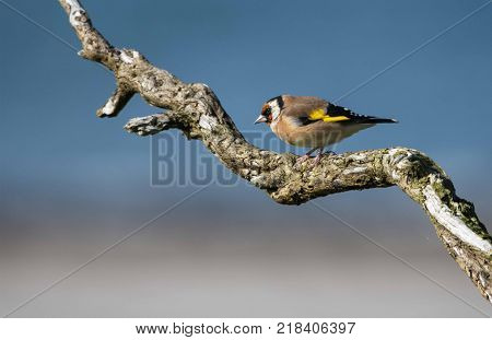Male goldfinch perched on branch overlooking the beach