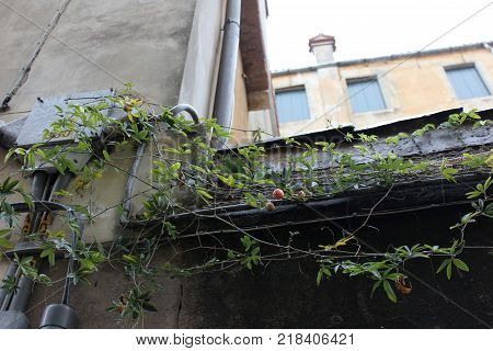 Building walls with pipes and climbing pland with fruits. City scape view with rambling green plant.