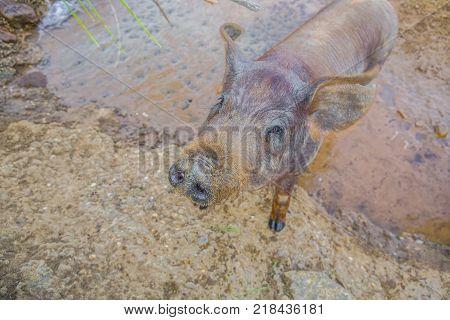 Young Black Iberian piglet enjoying a pond Extremadura Spain