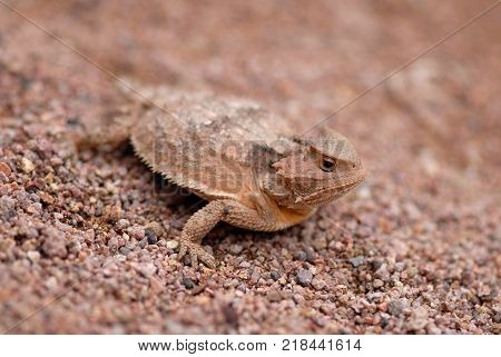 One of several species of horned lizard native to southern Arizona.