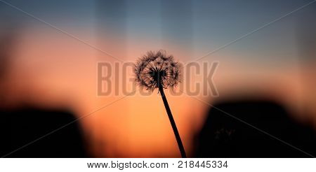 Dandelion silhouette at sunset, orange sky background