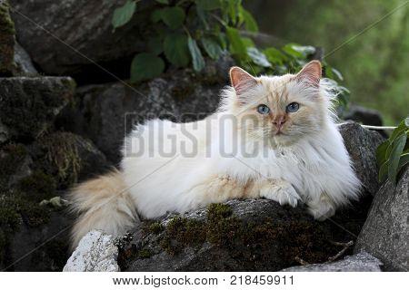 Sacred birman cat female resting on a stone